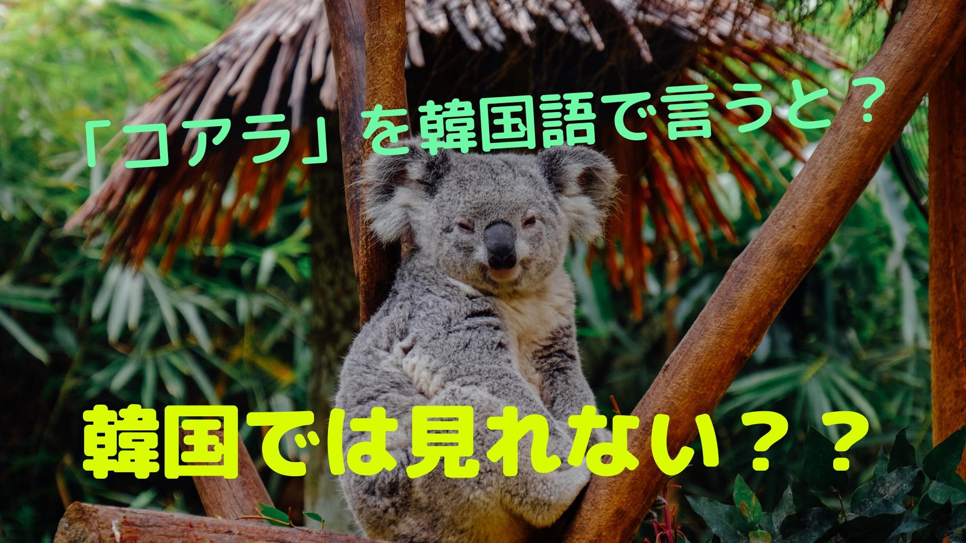 「コアラ」を韓国語で言うと?【韓国では見れないみたい】