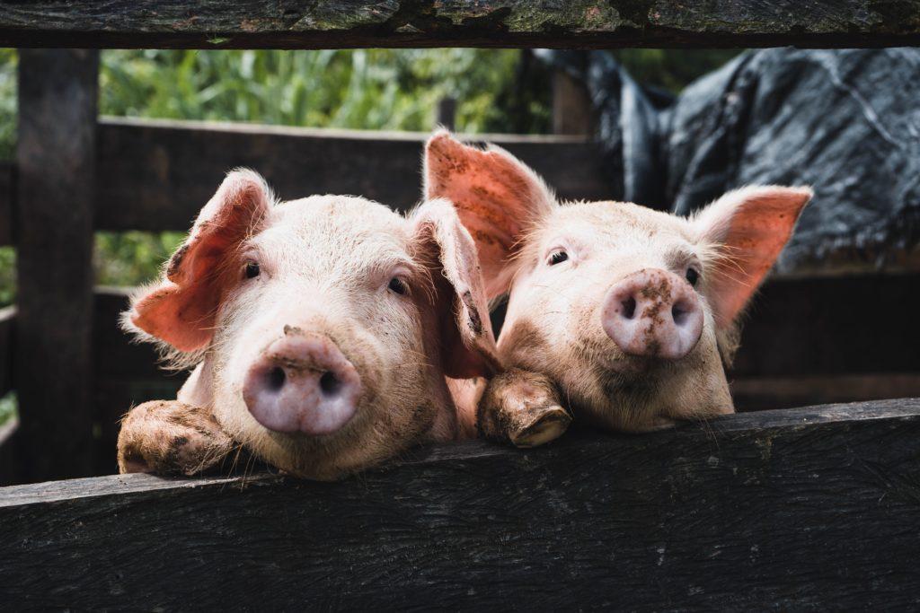 ブタ[돼지]の例文