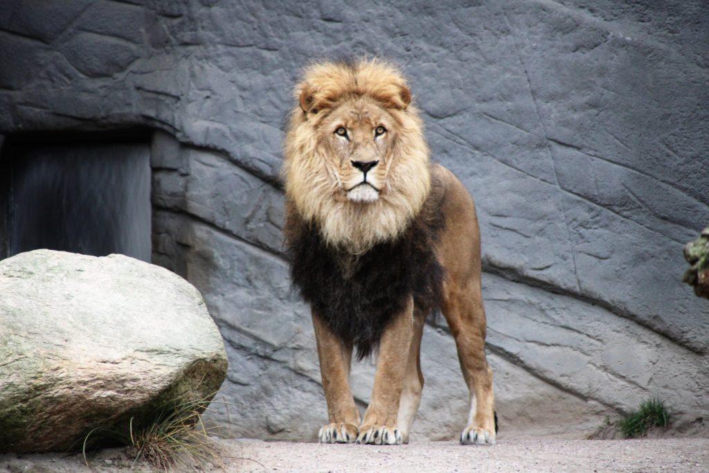 ライオン[사자]の例文